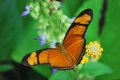 Orange butterfly a beautiful shows us his wings while enjoying a yellow flower Royalty Free Stock Image