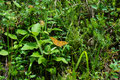 Orange butterfly with black dots on grass