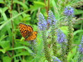 Orange butterfly on blue flowers lithuania Stock Images