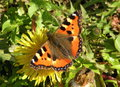Orange butterfly on dandelion bloom lithuania Stock Photos