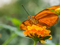 Orange butterfly on flower resting an Royalty Free Stock Image