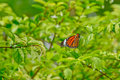 Orange  butterfly on green leaves Royalty Free Stock Photo