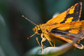 Orange butterfly macro of insects Royalty Free Stock Photo