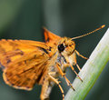 Orange butterfly macro of insects Royalty Free Stock Photos