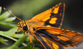 Orange butterfly macro of insects Stock Images