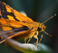 Orange butterfly macro of insects Royalty Free Stock Image