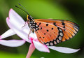 Orange butterfly on pink kopsia flower Royalty Free Stock Photo