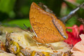 An orange  butterfly on a slice of pineapple Royalty Free Stock Photo