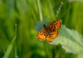 Orange butterfly small on fresh green grass background Royalty Free Stock Photography