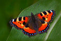 Orange butterfly Small tortoiseshell Aglais urticae, sitting on the green leave in the nature. Summer scene from the meadow. Beaut Royalty Free Stock Photo
