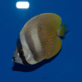 Orange Butterflyfish Royalty Free Stock Photo