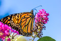 Orange Butterly on Purple Flowers Royalty Free Stock Photo