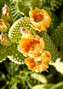 Orange Cactus Blossoms Stock Photos