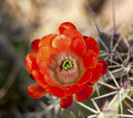 Orange Cactus Flower Royalty Free Stock Photo