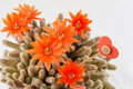 Orange cactus flower on a white background Royalty Free Stock Photo
