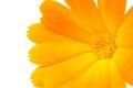 Orange Calendula (Pot Marigold) Flower on White Ba Royalty Free Stock Photo