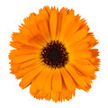Orange calendula on white background Royalty Free Stock Photo