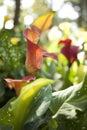 Orange calla lily Royalty Free Stock Image