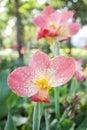 Orange Canna flower plants Royalty Free Stock Photo