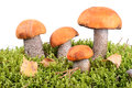Orange cap boletus in green moss on white background Stock Photos