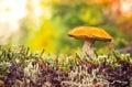 Orange-cap Boletus Mushroom Au...