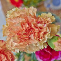 Orange carnation flower closeup Royalty Free Stock Photo