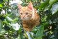 Orange cat climbing a tree Royalty Free Stock Photo