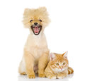 Orange cat and dog cat looking at camera isolated on white bac Stock Image