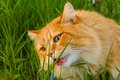 Orange cat eating grass utanför Royaltyfri Fotografi