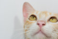 Orange cat face isolated Royalty Free Stock Photo