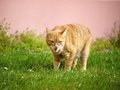 Orange cat in grass getting angry and show his teeth Stock Photos