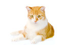 Orange cat lying in front.  on white background Royalty Free Stock Photo