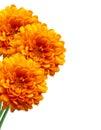 Orange Chrysanthemum Autumn Fl...
