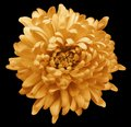 Orange chrysanthemum. Flower on the black isolated background with clipping path. Close-up. no shadows. Royalty Free Stock Photo