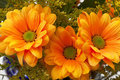 Orange chrysanthemum flowers Stock Image