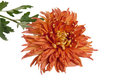 Orange chrysanthemum isolated on a white Stock Image