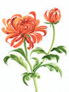 Orange chrysanthemum watercolor painting of asian style Royalty Free Stock Photo