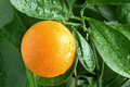 Orange on a citrus tree. Stock Image