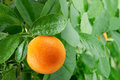 Orange on a citrus tree close up Royalty Free Stock Image