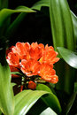 Orange Clivia Miniata over black Royalty Free Stock Photo
