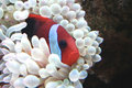 Orange Clown fish in her white anemone Stock Photos