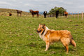 An orange collie shepherd dog and cattle red brown and black in a farm in rio grande do sul brazil Stock Photo