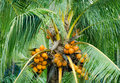 Orange color fresh coconut fruit on tree close up of in garden at thailand Stock Images