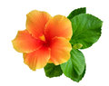 Orange color hibiscus flower with bud and leaves isolated on white background, path Royalty Free Stock Photo