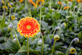 Orange colored Gerbera flower with a yellow heart Royalty Free Stock Photo