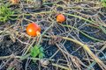 Orange colored small pumpkins forgotten during harvest Royalty Free Stock Photo