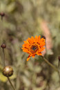 Orange cosmos daisy, Cosmos sulphureus, flower Royalty Free Stock Photo