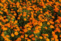 Orange Cosmos Flower Royalty Free Stock Photography