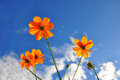 Orange Cosmos flower and blue sky Royalty Free Stock Images