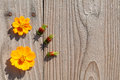 Orange cosmos flowers create a frame on old wooden background Royalty Free Stock Images